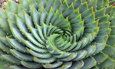 Aloe Vera Spiral